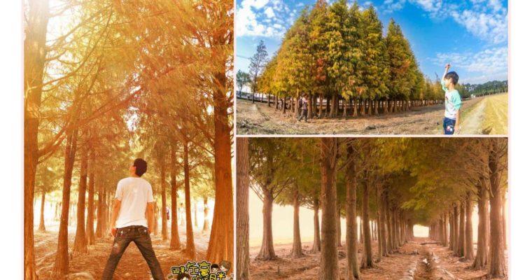 台南旅遊 IG夢幻秘境 六甲菁埔埤落羽松,讓你1秒就到韓國森林拍美照