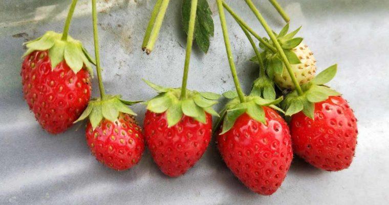 高雄旅遊 大崗山觀光草莓園 (三本草莓園旁),岡山景點推薦